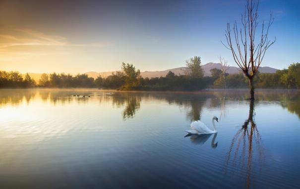 Фото обои пейзаж, озеро, утро, лебедь