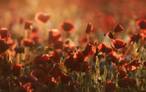 Фото обои поле, природа, маки, утро