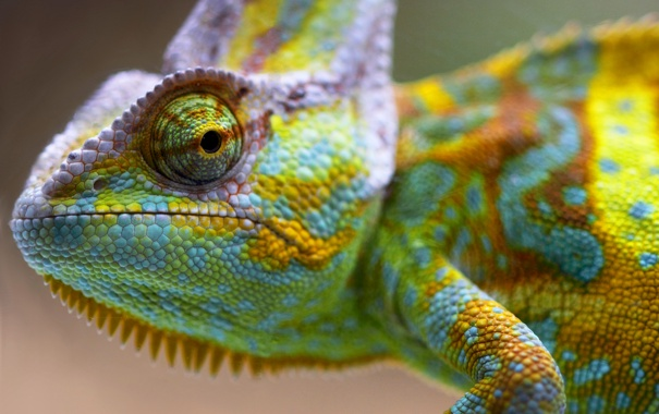 Фото обои глаз, хамелеон, цвет, пресмыкающееся