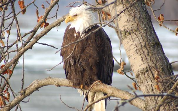 Обои картинки фото белоголовый орлан, сила, гордость