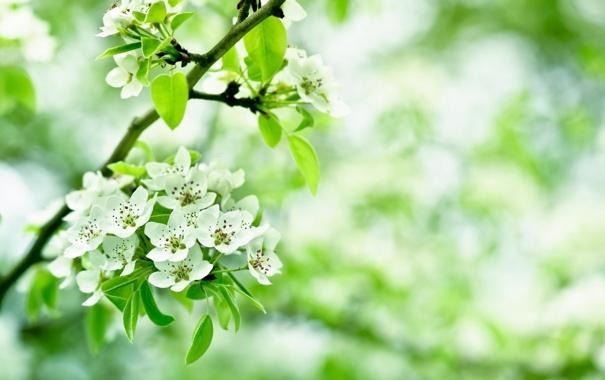 Фото обои листья, вишня, ветка, лепестки, размытость, белые