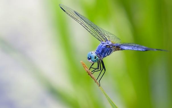 Фото обои глаза, листья, макро, синий, природа, крылья, стрекоза
