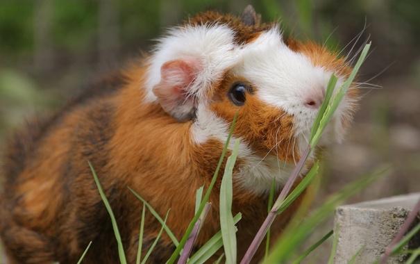 Фото обои морская свинка, травинки, грызун