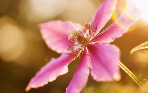 Фото обои цветок, лето, макро, сиреневый, климатис
