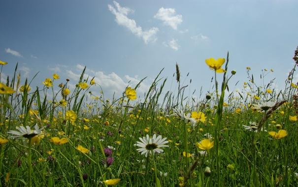 Фото обои небо, трава, цветы, природа, фото