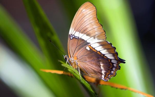Фото обои зелень, трава, макро, природа, бабочка, насекомое