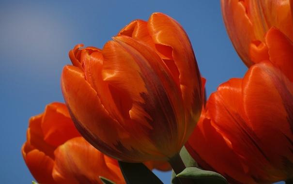 Фото обои небо, лепестки, тюльпаны, оранжевые