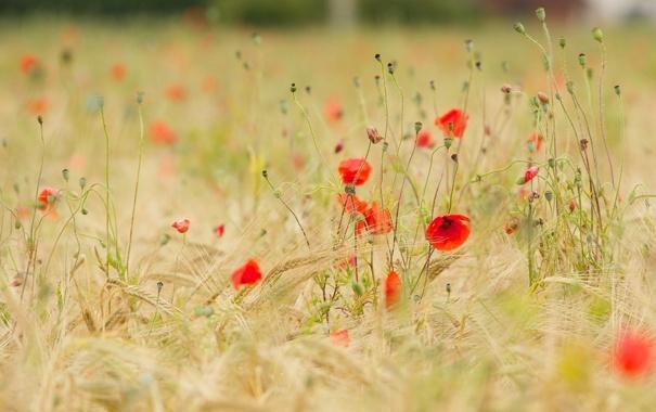Фото обои луг, колосья, лето, маки, цветы