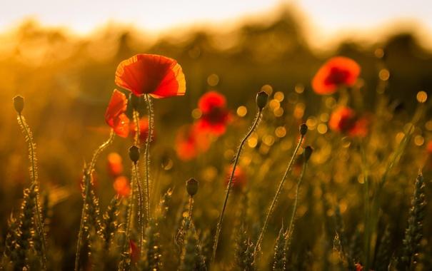 Фото обои лето, цветы, природа, мак, маки, красные