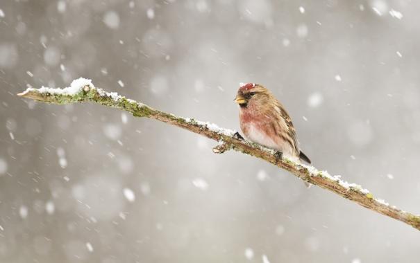 Фото обои зима, снег, птица, ветка