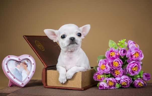 Фото обои цветы, коробка, рамка, милый, щенок, чихуахуа