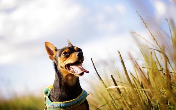 Фото обои поле, лето, собака