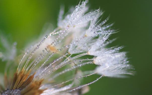 Фото обои макро, цветы, настроение, одуванчик, необычно, капли воды