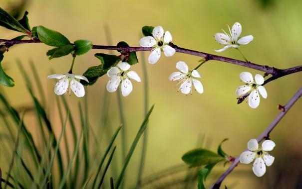 Фото обои цветок, макро, вишня, ветка, сакура
