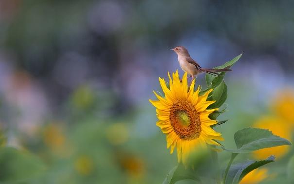 Фото обои листья, желтый, птица, подсолнух, воробей