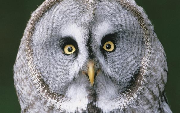 Фото обои глаза, птицы, сова