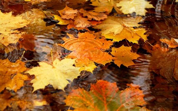 Фото обои осень, листья, вода, клен