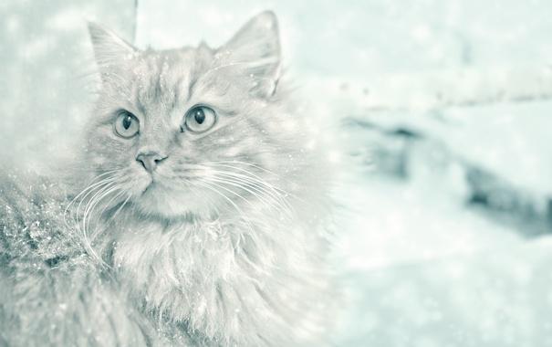 Фото обои кошка, усы, взгляд, снег