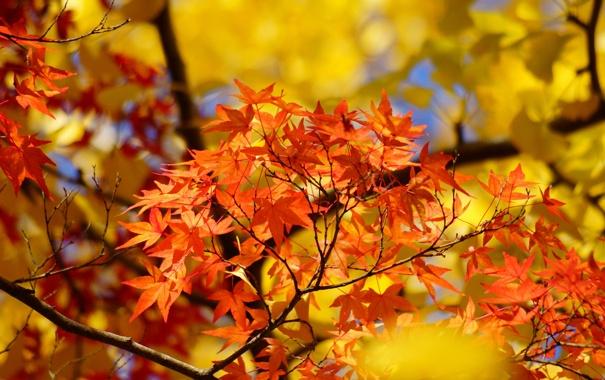 Фото обои осень, листья, дерево, желтые, клен, крона