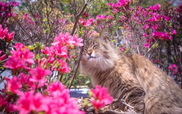 Фото обои кошка, цветы, природа, весна, кусты, рододендрон