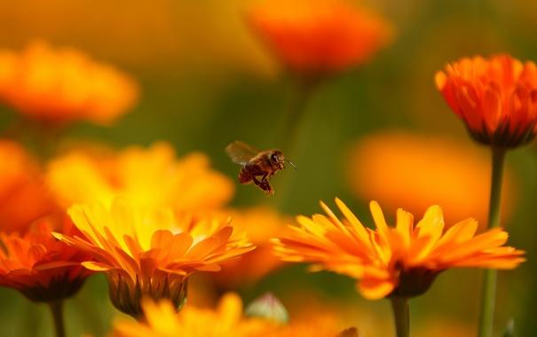 Фото обои пчела, полет, цветы