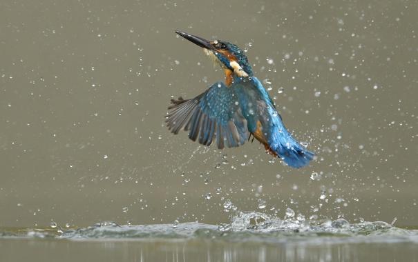 Фото обои вода, брызги, птица, рыбалка, всплеск, зимородок