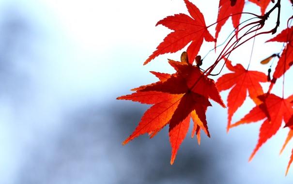 Фото обои осень, небо, листья, ветка, красные, клен