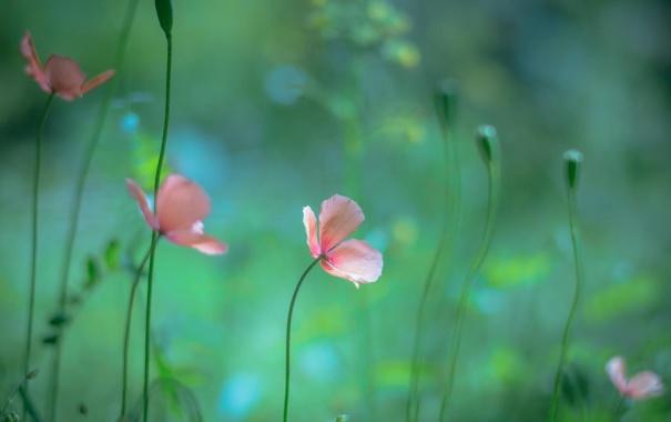 Фото обои макро, цветы, природа, маки