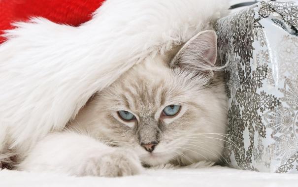 Фото обои кошка, голубые глаза, дремлет