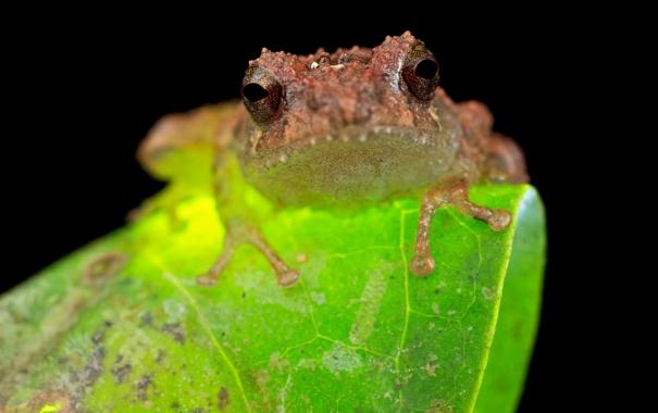 Фото обои лягушка, Frog, Philautus petersi