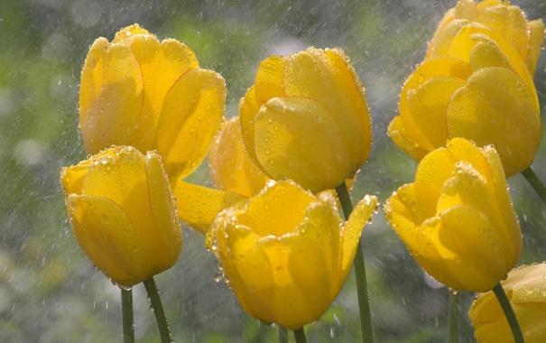 Фото обои капли, макро, цветы, желтый, дождь, весна, тюльпаны