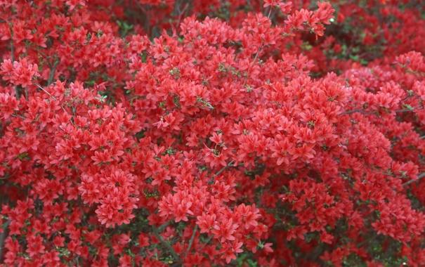 Фото обои цветы, природа, красные, кусты, рододендрон