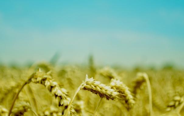 Фото обои поле, лето, небо, макро, природа, голубое, растения
