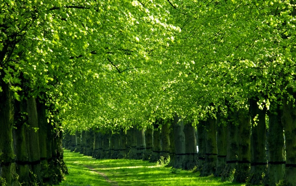 Фото обои зелень, деревья, природа, весна, алея