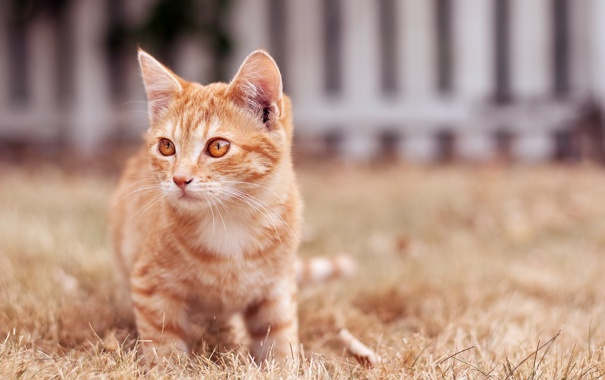 Фото обои кошка, фон, рыжая