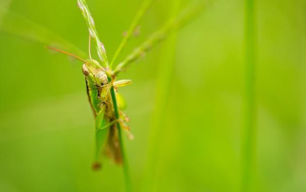 Фото обои nature, macro, insect, grasshopper