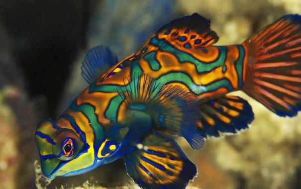 Фото обои бабочка, рыбка, разноцветная, мандаринка