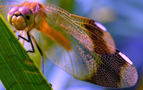 Фото обои глаза, лист, крылья, голова, стрекоза, насекомое