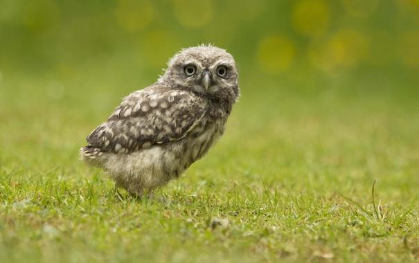 Фото обои зелень, трава, глаза, сова, клюв