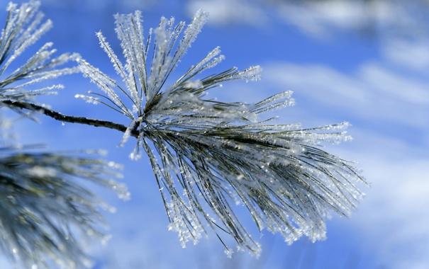 Фото обои синий, иней, зима, снег, лапка, ветка, хвоя