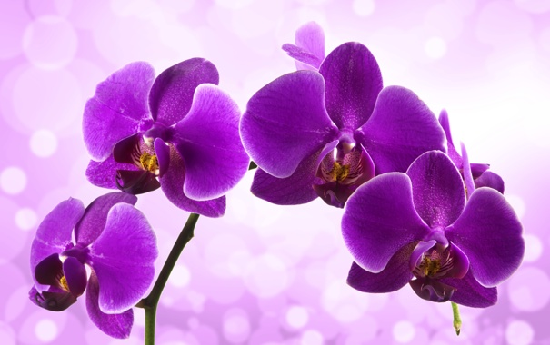 Фото обои цветение, сиреневая, орхидея, цветы