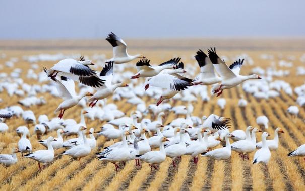 Фото обои поле, птицы, гуси, дикая природа, Montana, Fairfield, Migration