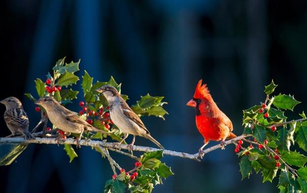 Фото обои птичка, красная, энгри бёрдс, смородина, angry bird, ветка
