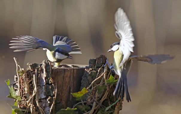 Фото обои птицы, игра, пень, крылья