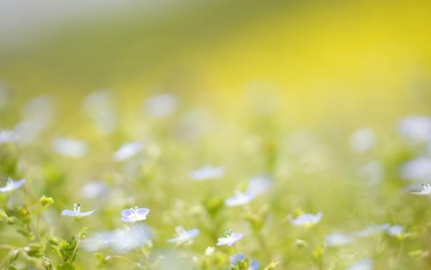 Фото обои лето, цветы, природа, голубые, полевые