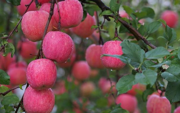 Фото обои осень, вода, капли, роса, яблоки, сад, урожай