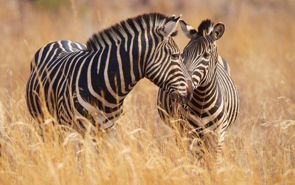 Фото обои трава, парочка, зебры