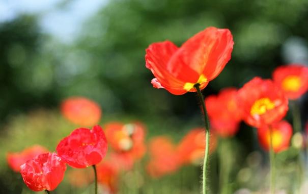 Фото обои поле, лето, солнце, свет, цветы, природа, тепло