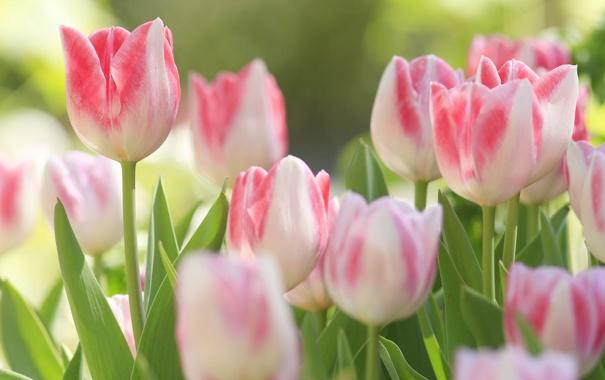 Фото обои бутоны, тюльпаны, макро