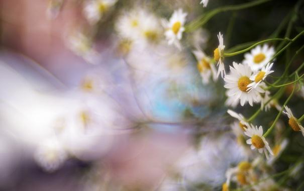 Фото обои цветы, природа, ромашки